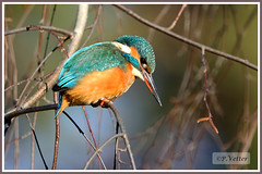 Martin-Pêcheur 200108-12-P (paul.vetter) Tags: nature faune oiseau vogel bird martinpêcheur alcedoatthis commonkingfisher martínpescadorcomún guardarios eisvogel alcédinidé