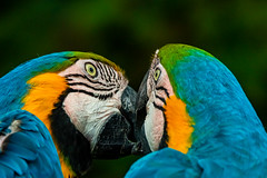 kiss (phojoegrapher) Tags: wildlifephoto photography lakebirds animal nature nikon animallover bird birdwatching color parrot macaw