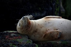 Snoozing (Barry Potter (EdenMedia)) Tags: barrypotter edenmedia nikon d750 seal