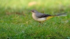 Grote gele kwikstaart (jandewit2) Tags: grotegelekwikstaart greywagtail natuur nederland netherlands natuurmonumenten nikon nature vogel bird thornspic