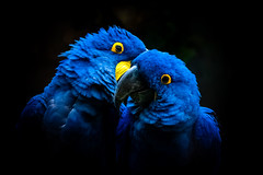 secrets (phojoegrapher) Tags: wildlifephoto photography lakebirds animal nature nikon animallover bird birdwatching color parrot macaw