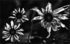 dez-2019-fuji-xpro-2-olympus-macro-90mm-f2-still standing (bafdias) Tags: fujifilmxpro2 olympuszuikomacro90mmf2 macro flowers bw monochrome