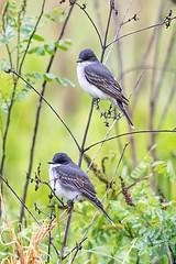 Eastern Kingbird (Gf220warbler) Tags: kansas flycatcher tyrannus tyrannidae passerine songbird