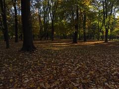 Autumn /light and shadow (masha mashoveici) Tags: naturephotgraphy yellowtrees natura autumn autumnleaves autumnphotos automne autumnlandscape autunno otoñal otoño bucharest forest