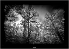 Walk in the Woods (Bartonio) Tags: bw ir infrared modified lapalma canaryislands islascanarias blanconegro laowa1018mm45 sonya7ir pine wood woods pinewoods