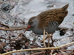 Water Rail Rallus a. aquaticus (nik.borrow) Tags: bird rail titchwell
