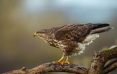 Buzzard (Nigey2) Tags: wildlife wild wildlifeconservation wildbirds animal animals raptor raptors canon conservation