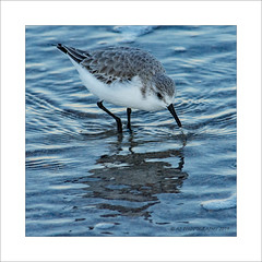 Sanderling (prendergasttony) Tags: wader nikon d7200 atlantic beach water blue feet beak jacksonville feathers nature wildlife ocean tony prendergast elements florida america birdwatching birding border