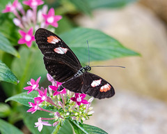 Longwing Butterfly (Heliconius) (Stephen G Nelson) Tags: insect butterfly heliconius botanicalgarden tucson arizona