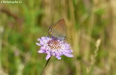Thécla du kermès sur sa scabieuse (Courthézon - Vaucluse - 10 juin 2019) (Carnets d'un observateur de la nature du Sud de la) Tags: insecte papillon microcosmos nature biodiversité fleur scabieuse campagne courthézon vaucluse provence thécladukermès