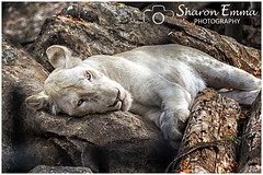 White Lioness (Sharon Emma Photography) Tags: pantheraleo felidae feline whitelion lion lioness whitelioness mutation timbavati southafrica chrismcbride thewhitelionsoftimbavati nikon nikond7200 sharonemmaphotography sharonemmagoldring sharongoldring sharondowphotography 2019 perfect paradise desertedparadise pictureperfect picturesque view pretty ideal stunning peaceful beautiful photographysharonemmacouk