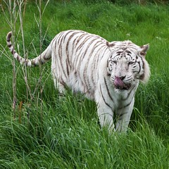 Leucistic male Bengal tiger in long grass (Iand49) Tags: bengaltiger male leucistic tiger panther cat feline predator carnivore india bangladesh asia pantheratigristigris huge white stripes whiskers tongue prowling grass greengrass longgrass stealthy powerful menacing dangerous fierce countryside beast creature nature wildlife handsome fauna naturalhistory outdoors zoology exoticspecies magnificentmajestic