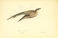 Anglų lietuvių žodynas. Žodis chimney swallow reiškia kaminų nuryti lietuviškai.