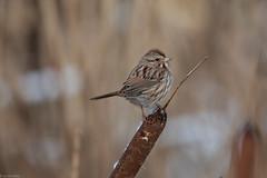 Song Sparrow (grobinette) Tags: songsparrow sparrow carderockrecreationarea cocanal
