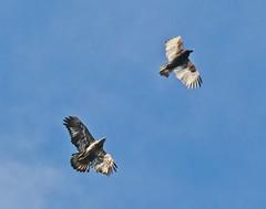 Bald eagle chases a turkey vulture (Goggla) Tags: florida boydhillnaturepreserve lakemaggiore baldeagle turkeyvulture stpetersburg urban wildlife bird raptor immature