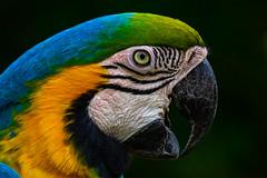 blue and yellow (phojoegrapher) Tags: wildlifephoto photography lakebirds animal nature nikon animallover bird birdwatching color parrot macaw