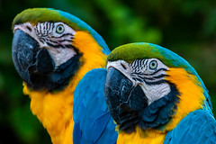 twins parrot (phojoegrapher) Tags: wildlifephoto photography lakebirds animal nature nikon animallover bird birdwatching color parrot macaw