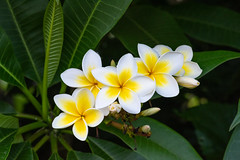 Frangipani Line Up (armct) Tags: frangipani plumeria garden goldcoast flower display bunch tree perfume scent aroma delicate white yellow simple waxy petals leaves texture venation