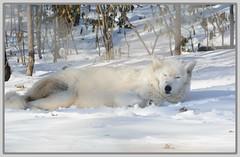 ((( Winter Snoozing Arctic Wolf ))) (Wolverine09J ~ 1.9 Million Views) Tags: arcticwolf canid mammal white predator captivewildlife zoo minnesota coldseason nature snowcover woods snoozing northamerican livingjewelsofnature thelooklevel1red preciouslivingjewelsofnature catandmoosegroup lartedellanatura memberschoice dslrautofocuslevel1 dslrautofocuslevel2 dslrautofocuslevel4
