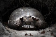 Gopher Tortoise - Naples Florida (Bernie Duhamel) Tags: gophertortoise naples naplesbeach greatphotographers florida hole bernie duhamel sonya9 sonyfe100400mm wildlife sand teamsony