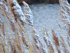 Touch of Snow (Anton Shomali - Thank you for over 3 million views) Tags: touch snow touchofsnow tallnativegrass covered tall native grass water river winter cold ice wet tallgrassprairie prairie prairiegrass nikon coolpix p900 nature outdoor