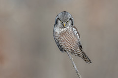 Northern Hawk Owl (Joe Branco) Tags: green ontario canada macro bird nature branco photoshop joe owl lightroom songbirds naturephotography birdphotography wildlifephotography northernhawkowl nikond850 joebrancophotography
