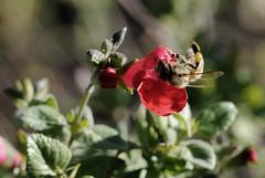 Honey bee on Salvia (TJ Gehling) Tags: insect hymenoptera bee apidae honeybee westernhoneybee apis apismellifera plant flower lamiales lamiaceae sage salvia drmp dorothyrosenbergmemorialpark elcerrito