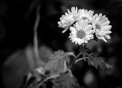 chrysanthemums (Christine_S.) Tags: fujixt3 bokeh blackwhite monochrome hmbt japan nature closeup macro flowers flowersinblackandwhite xf35mmf14