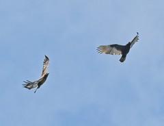 Bald eagle chases a turkey vulture (Goggla) Tags: florida boydhillnaturepreserve lakemaggiore baldeagle turkeyvulture stpetersburg urban wildlife bird raptor immature goglog