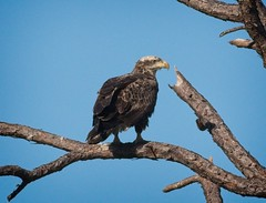 Immature Bald Eagle (Goggla) Tags: florida cedarkeycemetery baldeagle cedar key wildlife bird raptor immature goglog