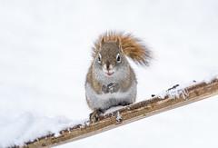 It's a snow day! (Nancy Rose) Tags: myyard snowday snowing nature wildlife backyard novascotia january sonya73
