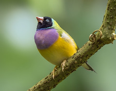 Gouldian Finch, Wings of the Tropics, Fairchild Tropical Botanic Garden. (pedro lastra) Tags: panasonic leica dg varioelmar 100400mm f463 asph g9 lumix dcg9 mirrorless micro four thirds