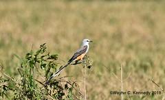 Scissor-tailed Flycatcher on top of bush (wayne kennedy EDD) Tags: scissortailedflycatcher flycatcher bird keeneroad orangecounty centralflorida