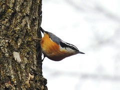 Nikon P900, Red-breasted Nuthach, Sittelle à poitrine rousse, Botanical Gardens, Montréal, 29 December 2019  (48) (proacguy1) Tags: nikonp900 redbreastednuthach sittelleàpoitrinerousse botanicalgardens montréal 29december2019