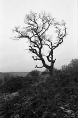 Craigs Wood tree (NicksScans) Tags: gw690iii gw690 rangefinder fuji scotland stirling nature tree monochrome 6x9 medium format ilford fp4 id11