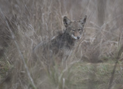 Foxy coyote (woodwindfarm) Tags: coyote commonwealth lake