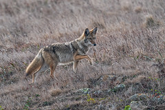 Coyote Step (lennycarl08) Tags: coyote animalplanet pointreyesnationalseashore