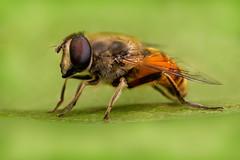Syrphidae (J Chiavo) Tags: argentina canon6d mpe65 macrofotografía macrophotography naturaleza nature