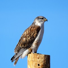 Perched on a Post (Patricia Henschen) Tags: raptor hawk ferruginious easternplains colorado springs coloradosprings rural roadside post backroad elpasocounty county elpaso winter