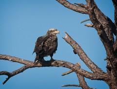 Immature Bald Eagle (Goggla) Tags: florida cedarkeycemetery baldeagle cedar key wildlife bird raptor immature
