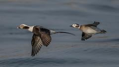 Long-tailed Ducks (M)(F) 4223 (Paul McGoveran) Tags: bif bird birdinflight burlington burlingtonliftbridge duck lakeontario longtailedduck nature nikon500mmf4 nikond850 ontario wings