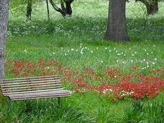 Bench Among the Daffodils (mikecogh) Tags: christchurch park flowers daffodils bench slats wooden