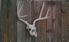 he didn't deserve it (annapolis_rose) Tags: skull antlers dufur wascocounty oregon