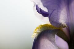 Self Impression (michael.cessna) Tags: iris irisgermanica germaniris impression lavendar purple flower singleflower floral spring springtime springflower beardediris tallbeardediris perennial beautiful abstract impressionism victoriaerickson edgeofwonder krzysztofkobyliński eriktruffaz self