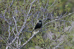 Tui (jpotto) Tags: newzealand aotearoa taupo tui bird hukafalls