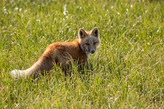 Red Fox Kit (Dan King Alaskan Photography) Tags: redfox fox foxkit vulpesvulpes tundra arctic northslope alaska cute grasses wildlife wilderness protectwildlife preservewilderness canon80d sigma150600mm