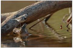 White wagtail (Dave 5533) Tags: whitewagtail songbird bird birds birdsofisrael birdsphotography outdoor animal nature wild wildlife naturephotography canon300mmf28 canoneos1dx animalplanet planetanimal mammals wildlifeofisrael inexplore