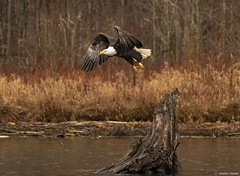 Skagit River Bald Eagle Lift Off Stump  Flickr (wdbauer7) Tags: baldeagle haliaeetusleucocephaluseagle bird baldeagles eagles birds attacking attack attacks flying fly flies hunting hunt hunts conservation conserve river rivers scenic scenery scenics waterway waterways wetland wetlands wild uncultivated wilderness backcountry wilds daylight winter wintertime winters wintertimes breezy breeze breezes cold precipitation rain raining precipitate precipitating rains precipitates creek water creeks lake lakes air atmosphere