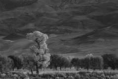 Singular (gpa.1001) Tags: bishop california owensvalley easternsierra sunrise blackandwhite bw tree fall explored