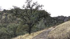 Solo Oak Tree (Mr.LeeCP) Tags: pinnaclesnationalpark nationalpark california autumn nature trees